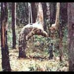 Kneeling tree in rainforest 2