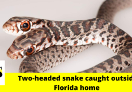 Cat caught a rare two-headed snake outside Palm Harbor 2