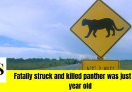 Fatal crash kills a panther